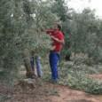 ASAJA-Sevilla celebrará en Estepa un nuevo curso sobre cómo debe podarse un olivo entre el 15 y el 21 de marzo.
