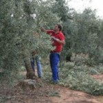 Curso gratuito de poda del olivo en Estepa