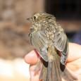 Durante el pasado año, la estación ornitológica del Refugio de la Serpiente, situada entre Estepa y Gilena, ha llevado a cabo numerosas jornadas de anillamiento y censo en la Sierra del Becerrero