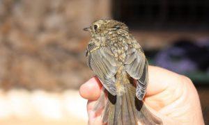 Hitos Ornitológicos en 2016 del Refugio de la Serpiente, entre Estepa y Gilena